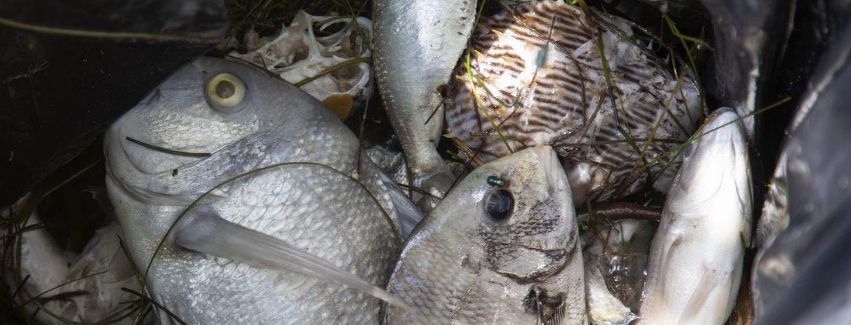 Red Tide Decimates Tampa Bay Marinelife, Surfrider Suncoast Demands Change
